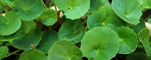 Naturally beautiful Part 7, fighting wrinkles with gotu kola