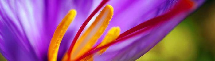 Saffron oil, gold for your beauty