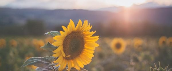 Sunflower oil, cosmetic use for beauty