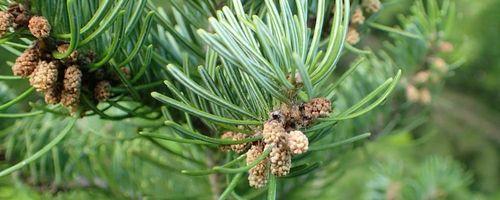 Siberian fir essential oil