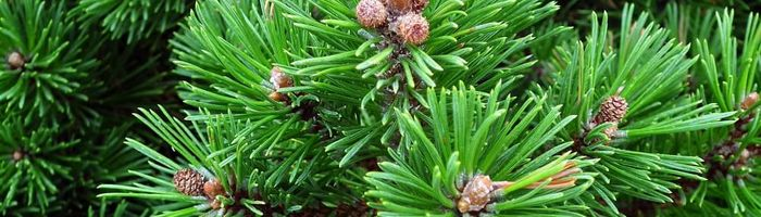 Mountain pine essential oil