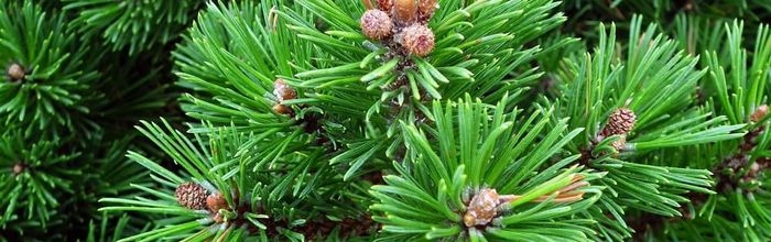 Olio essenziale di pino mugo