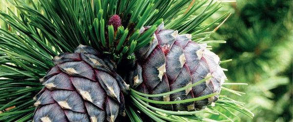 Swiss stone pine essential oil