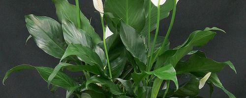 Spathiphyllum mauna loa
