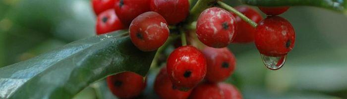 Olio essenziale di wintergreen