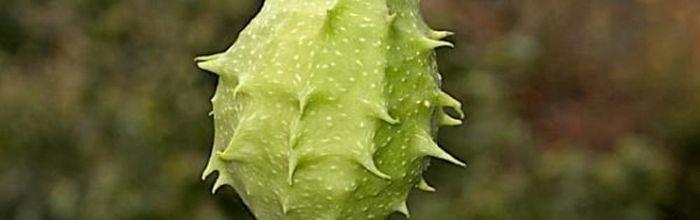 Luffa operculata