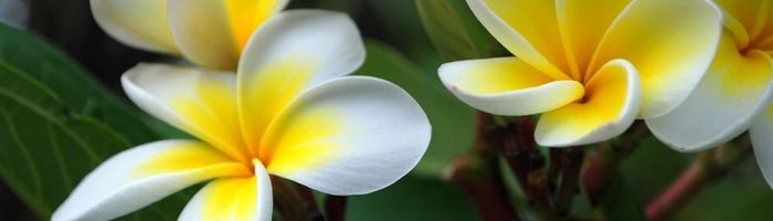Olio essenziale di frangipani