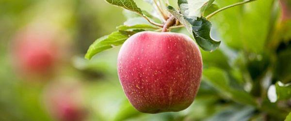 Annurca apple