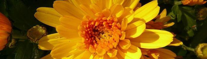 Chrysanthellum Americanum