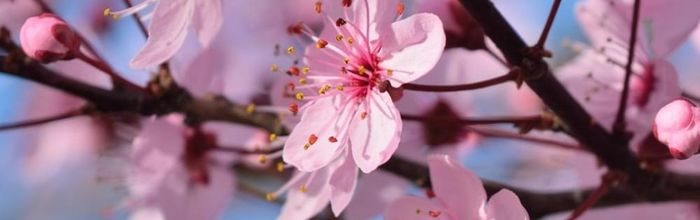 Peach tree, flowers and leaves