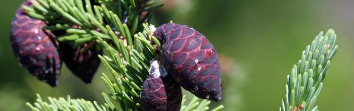 Black spruce essential oil, the Christmas essence that is good for the brain, lungs, skin and hair