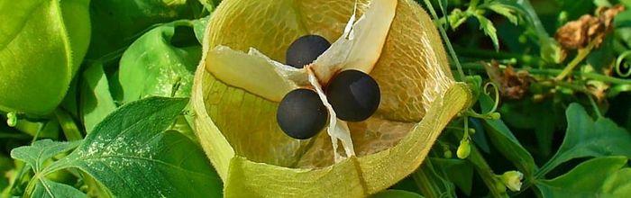 Cardiospermum