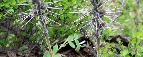 Picrorhiza oder Kutki