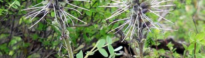 Picrorhiza, or kutki