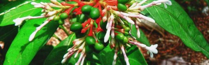 Indian Serpentine