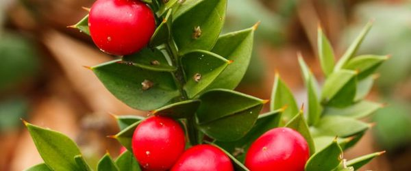 Ruscus aculeatus or butcher's broom
