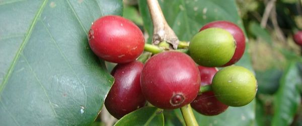 Coffea cruda