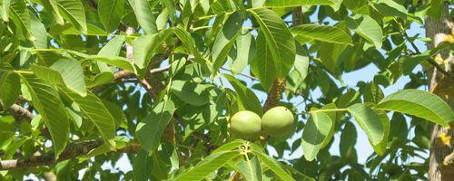 Noce (albero)
