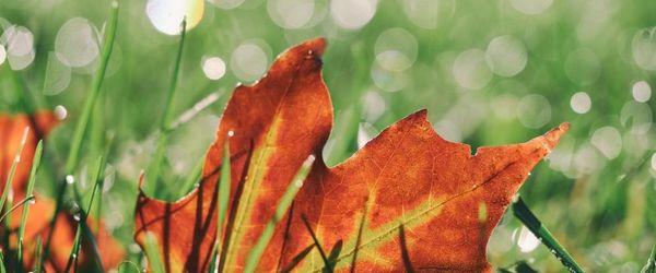 Maple, herbal medicine