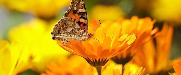 Marigold infused oil