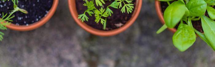Orto e giardino, salute e relax Parte 1, basilico, pratoline e rosmarino