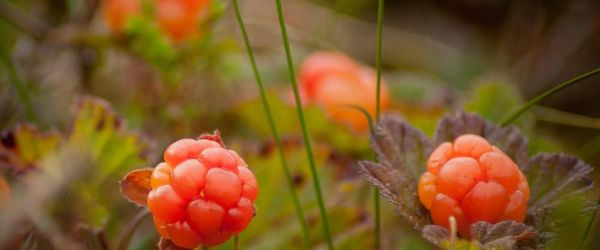Cloudberry seed oil
