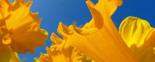 Olio essenziale di narciso