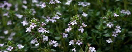 Essential oil of white thyme, the breath of Zeus
