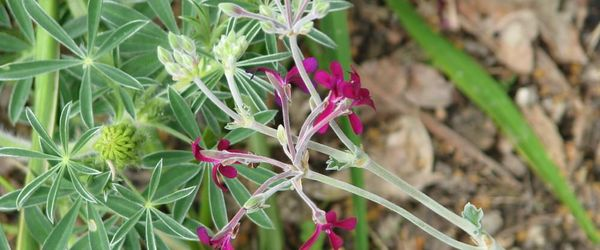 Pelargonium or South African geranium, the remedy for coughs and colds