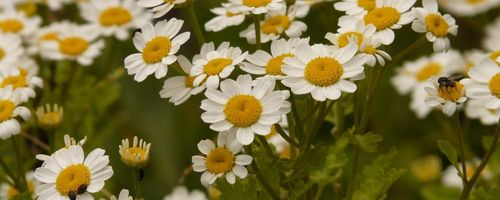 Feverfew, a plant of health and beauty