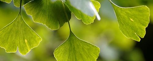 Ginkgo biloba, the ancient plant that protects the brain