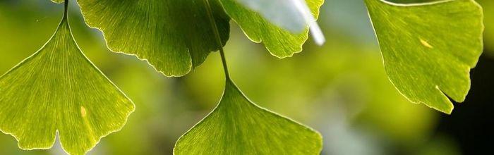 Ginkgo biloba, l'antichissima pianta che protegge il cervello