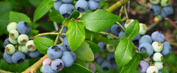 Bilberry (leaves and roots)