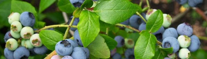 Mirtillo nero (foglie e radici)
