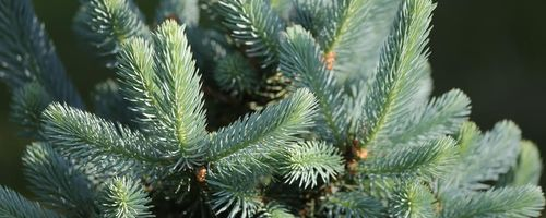 Silver fir, the essential oil that purifies the air and protects the lungs