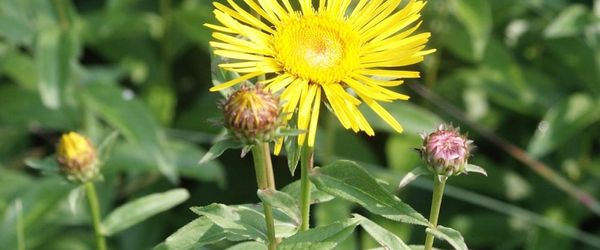 Inula essential oil
