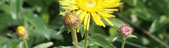Inula essential oil