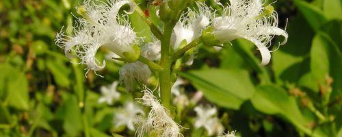 Water trefoil or buckbean