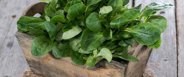 Mache or lamb's lettuce