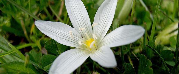 Star of Bethlehem, the Bach flower remedy against traumas