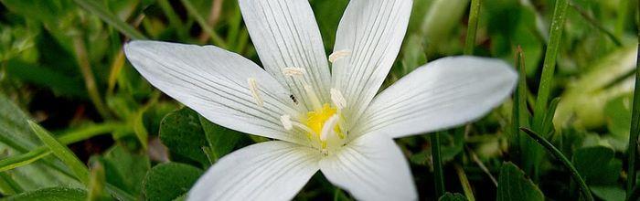 Star of Bethlehem, il fiore di Bach contro i traumi