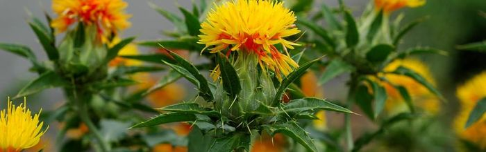 Safflower oil, cosmetic use