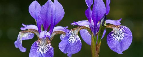 Iris essential oil