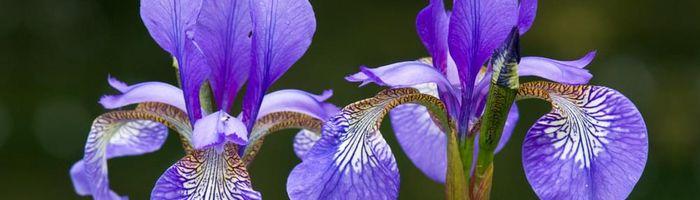 Olio essenziale di iris
