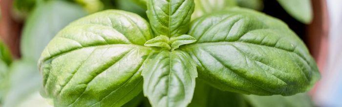 Basil, the seedling of health