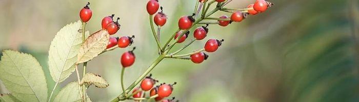 Dog rose, herbal medicine
