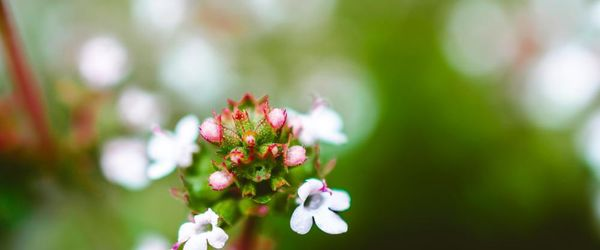 Slow cosmetique, beautiful with thyme