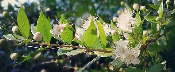 Naturkosmetik, wie Könige und Königinnen Teil 20, aus dem Herzen Australiens das Mittel gegen Akne, Fieberblasen und Wunden
