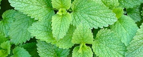 Melissa officinalis (Lemon balm)