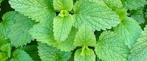 Melissa essential oil (Lemon balm)
